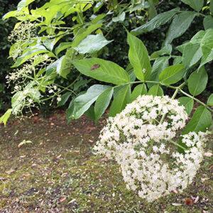 エルダーベリー 花